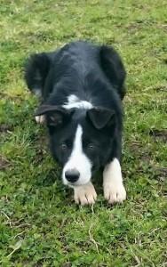 Roxy collie pup 2
